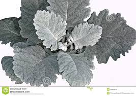 DUSTY MILLER (BROAD LEAF)-GROWERS BUNCH