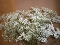 GYP-MILLION STAR/BABYS BREATH GROWER BUNCH