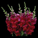 SNAPDRAGON-BURGUNDY 10 STEM