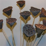 DRIED LOTUS PODS SM #701 12 STEMS/PK