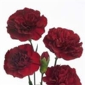 MINI CARNATION BURGUNDY 10 STEM