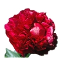 PEONIES-BURGUNDY 5 STEM
