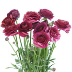 RANUCULUS BURGUNDY 10 STEMS