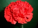 CARNATION-RED 25 STEMS