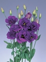 LISIANTHUS PURPLE GROWER BUNCH