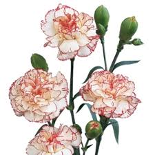 MINI CARNATION PEPPERMINT 10 STEM