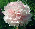 PEONIES-BLUSH 5 STEM