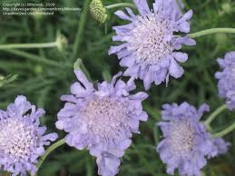 SCABIOSA-BLUE 10 STEM