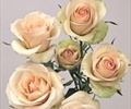 SPRAY ROSE- BLUSH/OFF WHT 10 STEMS