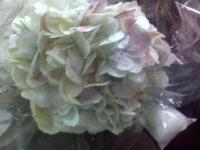 HYDRANGEA-ANTIQUE WHITE PER STEM