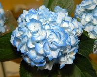BOX OF 30 LIGHT BLUE HYDRANGEAS- THIS SPECIALLY PRICED BOX  IS FOR SPECIAL INTERNET ONLY PURCHASE!
