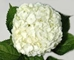 BOX OF 30 WHITE HYDRANGEAS- THIS SPECIALLY PRICED BOX  IS FOR SPECIAL INTERNET ONLY PURCHASE!