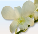 DENDROBIUM ORCHID-WHITE 10 STEMS