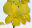 DENDROBIUM-YELLOW 10 STEMS DYED