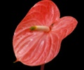 ANTHURIUM-CORAL PER STEM