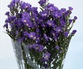 ASTER-PURPLE 10 STEMS
