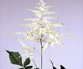 ASTILBE-WHITE 10 STEMS