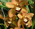 CYMBIDIUM SPRAY-BROWN 8-12 BLOOM