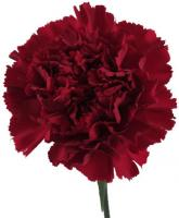 CARNATION-BURGUNDY 25 STEMS