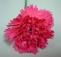 CARNATION-HOT PINK 25 STEMS