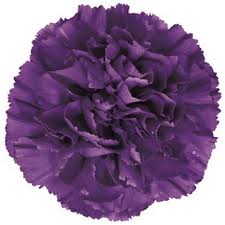 CARNATION-PURPLE MOONSHADE 20 STEMS