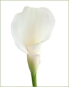 CALLA-MINI-WHITE 10 STEM