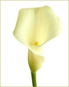 CALLA-MINI-IVORY 10 STEMS