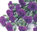 CARNATION-MINI-PURPLE 10 STEMS