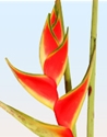 HELICONIA-UPRIGHT PER STEM